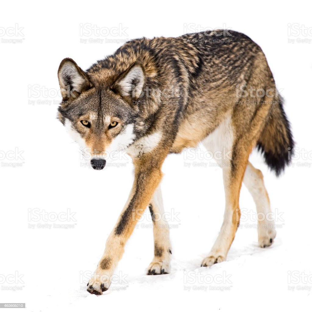 Red Wolf in Snow VIII stock photo