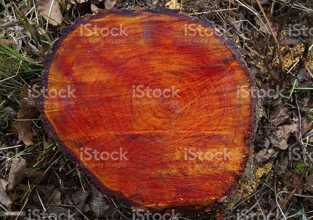Red wood, a trunk of Black alder stock photo