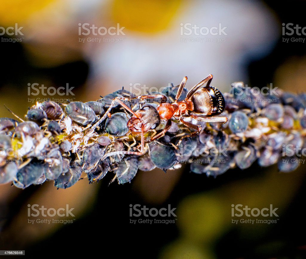 Red wood ant stock photo