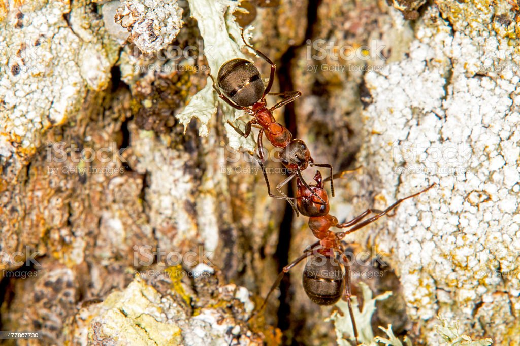 Red wood ants stock photo