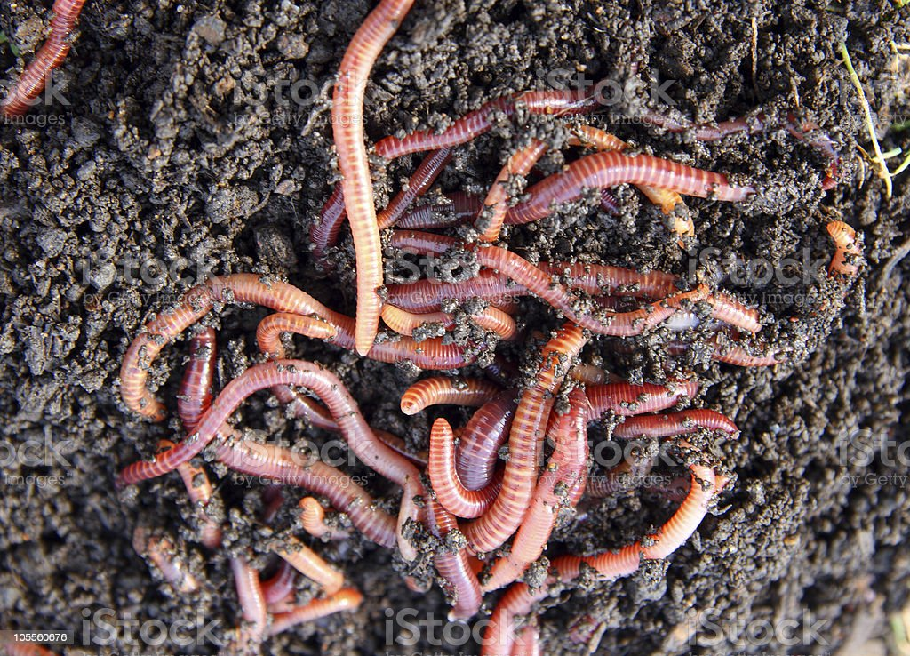 red worms in compost stock photo