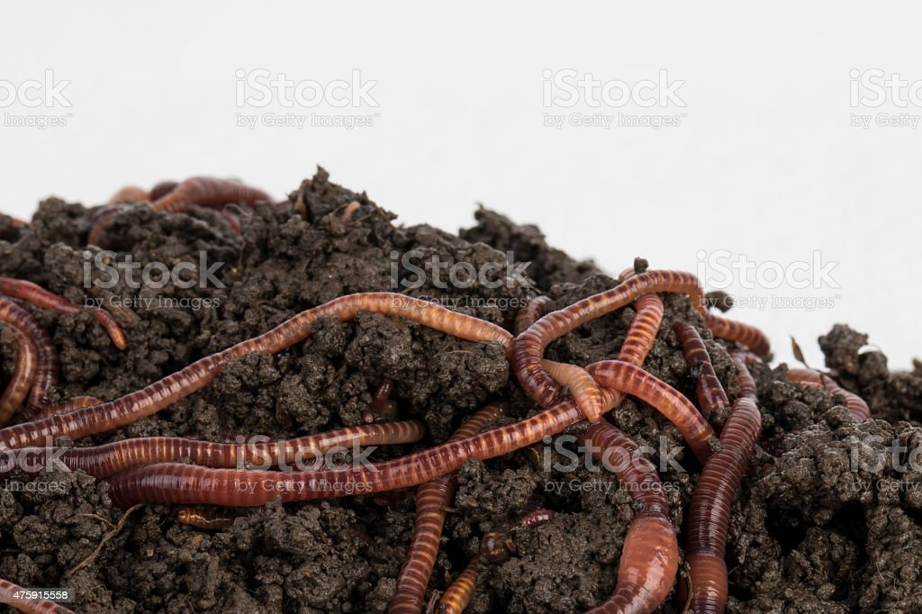 Red worms in compost. stock photo