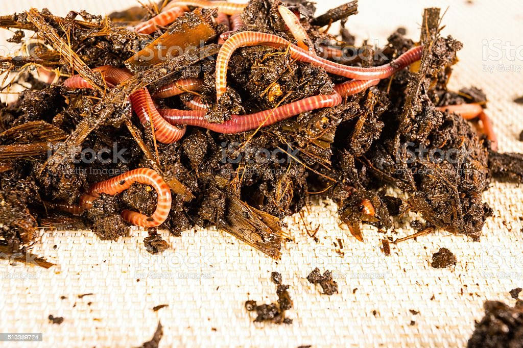 Red worms. stock photo