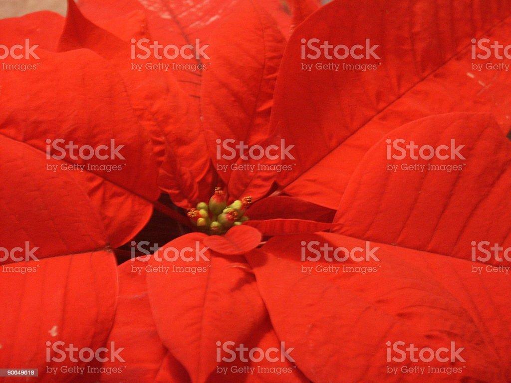 red Xmas star plant royalty-free stock photo
