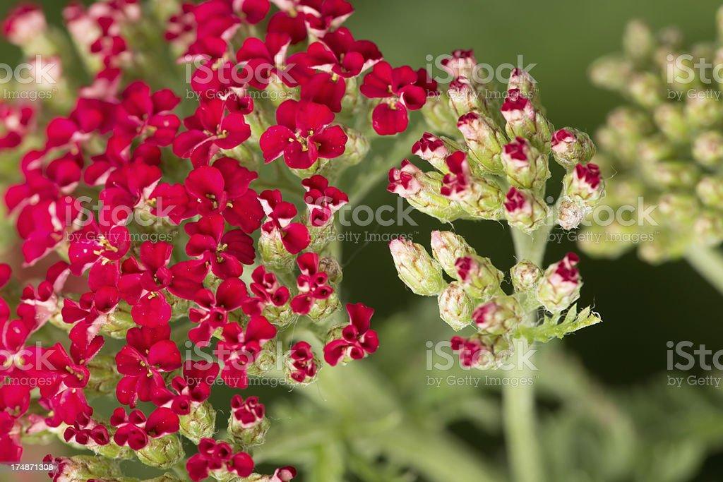 Red Yarrow royalty-free stock photo