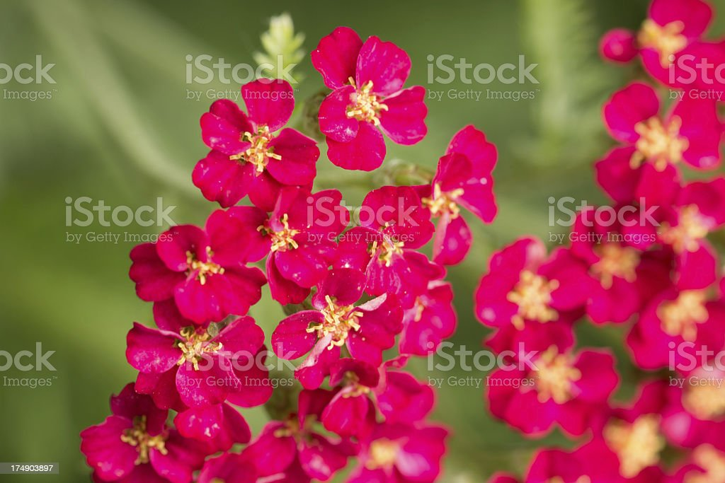 Red Yarrow royalty-free stock photo