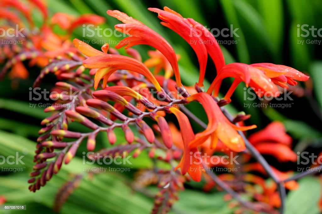 Red, yellow and orange crocosmia in a garden stock photo