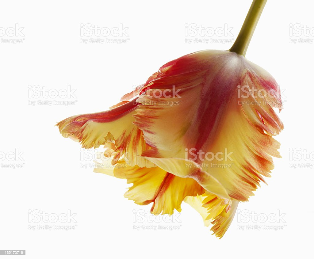 Red & Yellow Bicolored Parrot Tulip on White stock photo