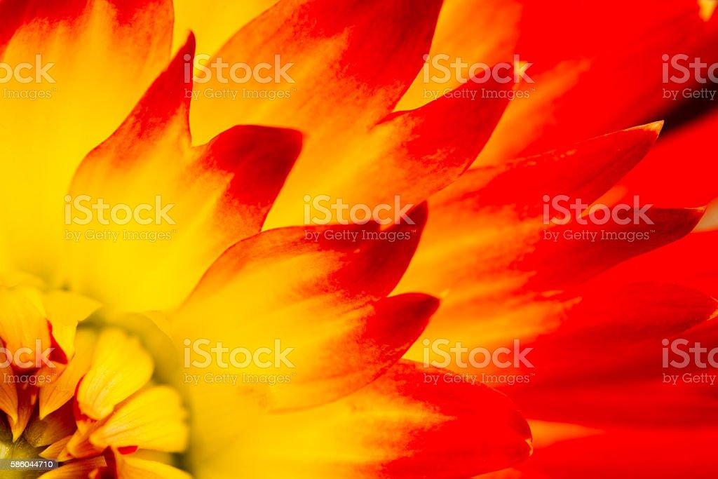 Red Yellow Dahlia Macro stock photo