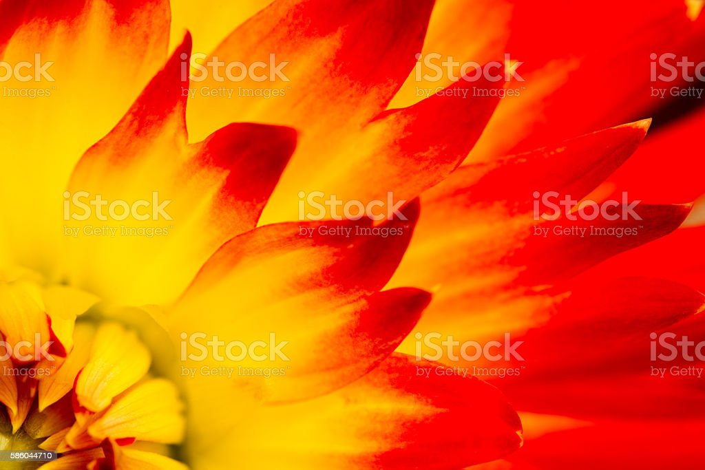 Red Yellow Dahlia Macro stock photo