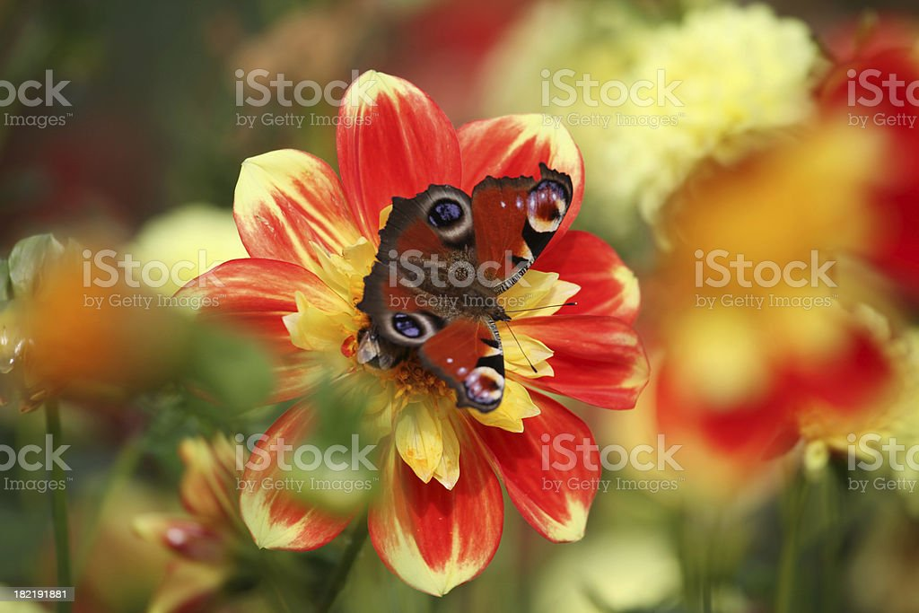 Red yellow dahlia with butterfly stock photo