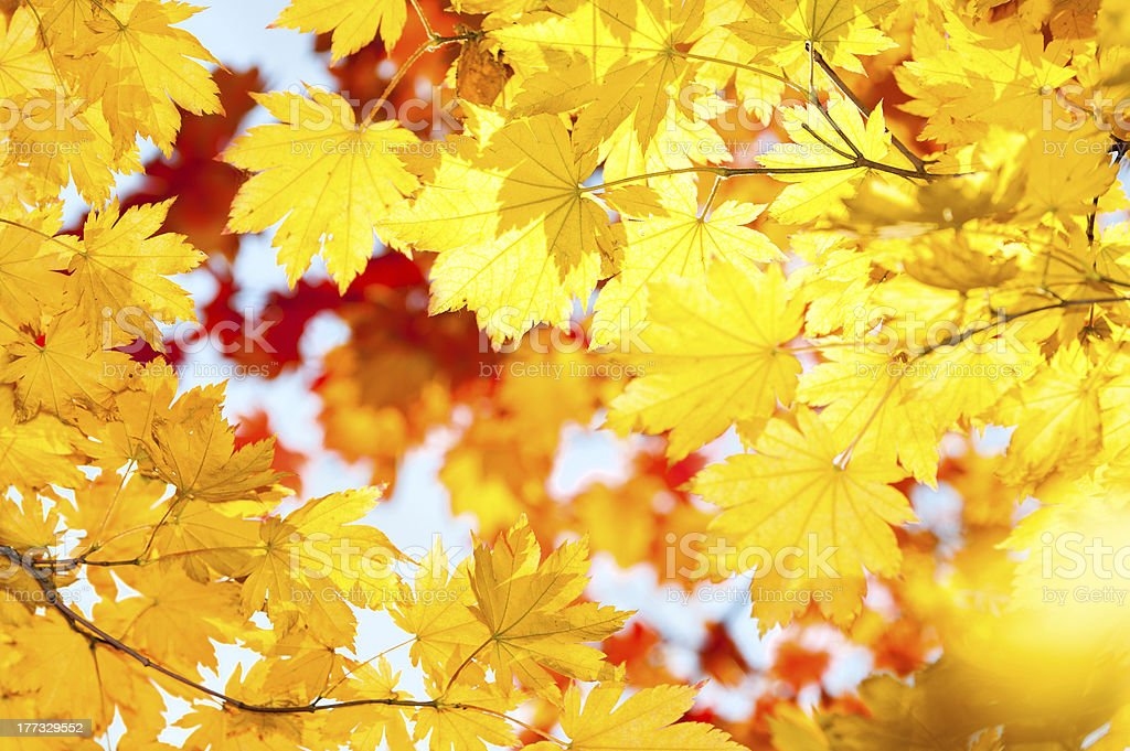 red yellow fall maple leafs illuminated by sun natural backgroun stock photo