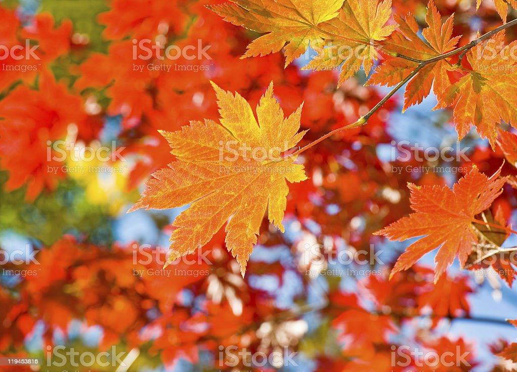 red yellow fall maple leafs illuminated by sun natural background stock photo