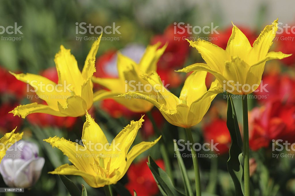 red yellow group of tulips stock photo