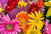 Red yellow pink gerbera