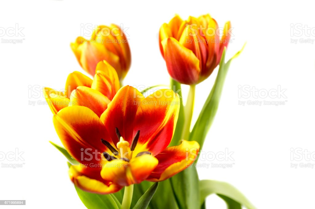 red yellow Tulip on a white background. stock photo