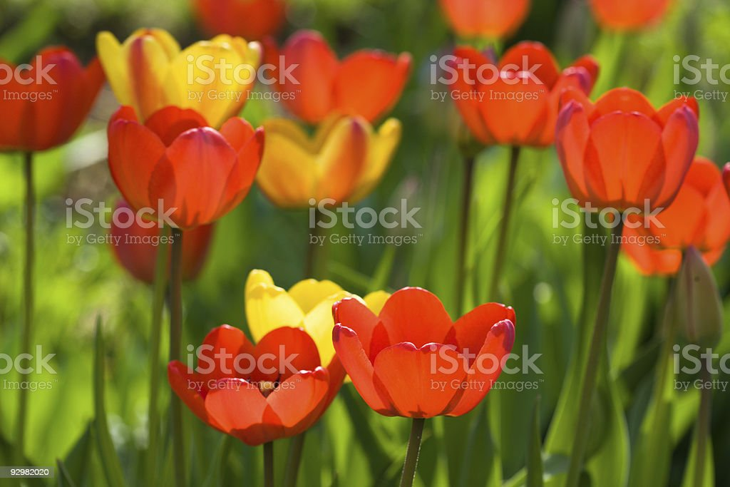 Red yellow tullips on daylight stock photo