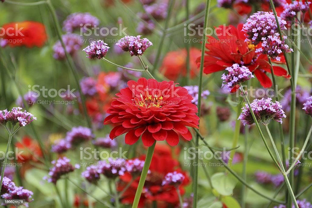 Red zinnia and verbena bonariensis flowers royalty-free stock photo