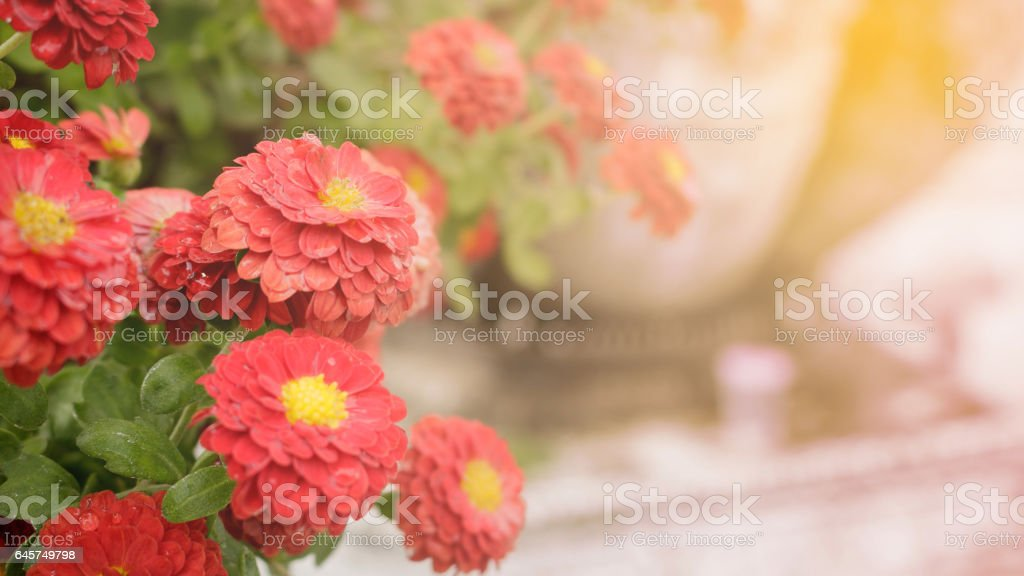 Red zinnia beside view, making light soft and blur stock photo