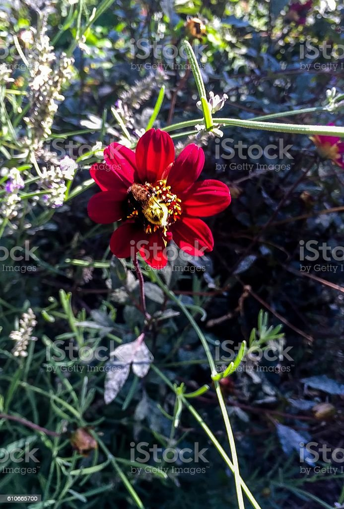 red zinnia flower stock photo