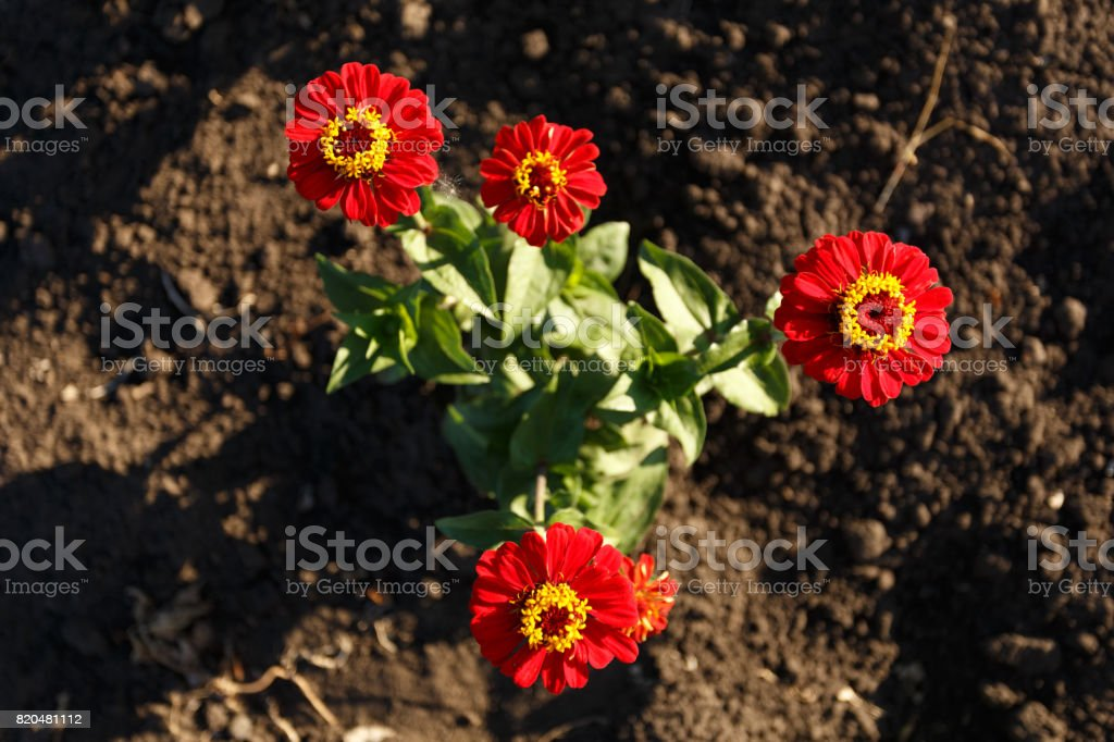 Red zinnia flowers top view stock photo