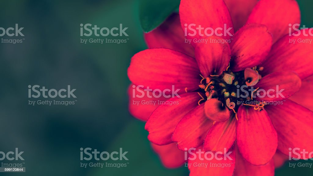 Red Zinnia in full bloom blurred background. stock photo