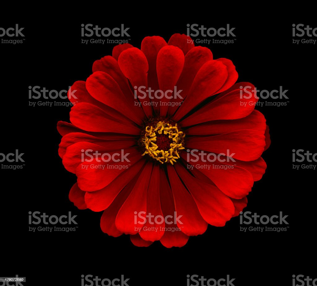 XXXL: Red zinnia isolated against a black background stock photo