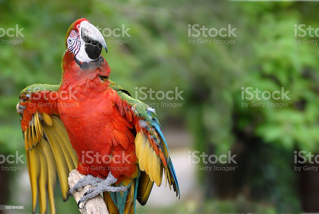 Red-and-green Macaw on perch royalty-free stock photo