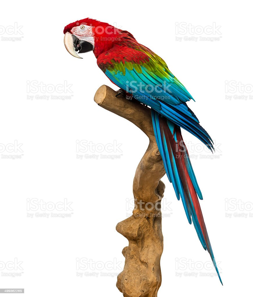 Red-and-green macaw perched on a branch, isolated stock photo