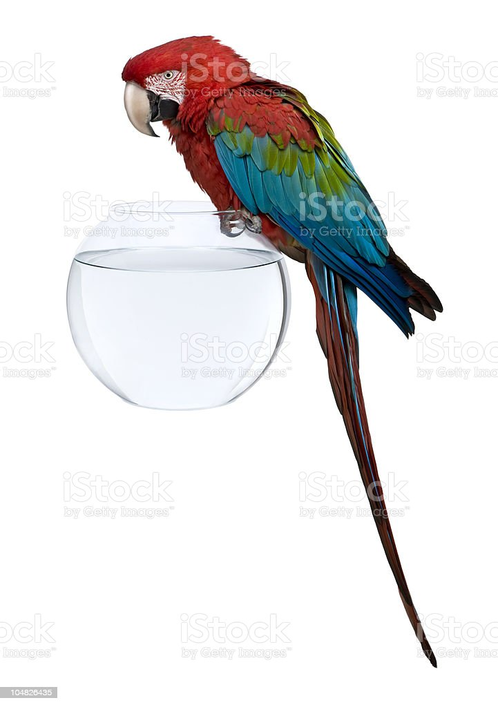 Red-and-green Macaw perching on fish bowl. royalty-free stock photo