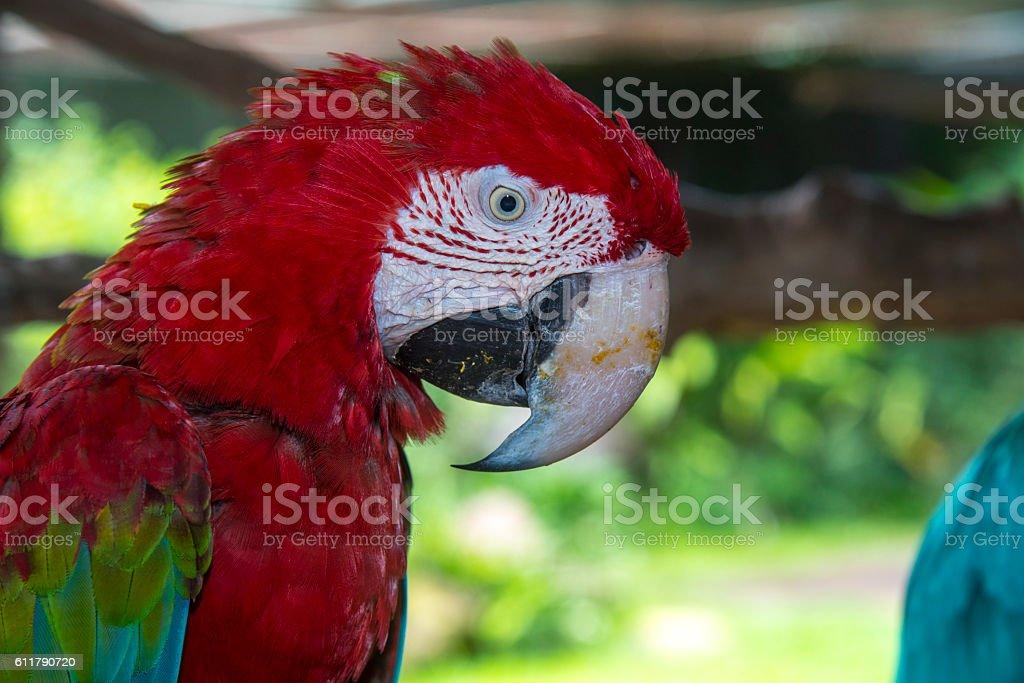 Rouge et vert Ara photo libre de droits