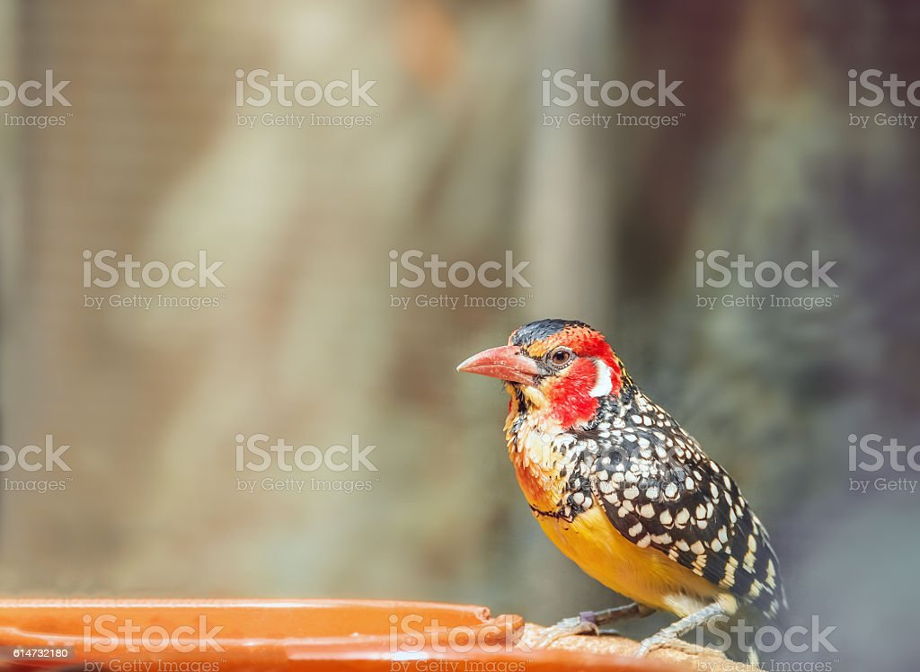 Red-and-yellow barbet near feeders. Trachyphonus erythrocephalus stock photo