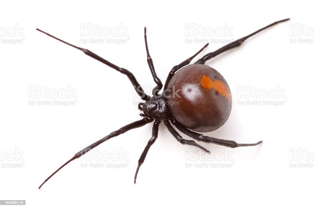 Redback Spider (Latrodectus Hasselti) Isolated stock photo