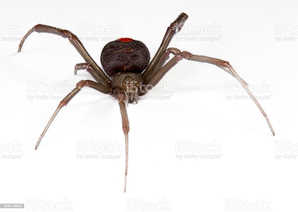 redback spider stock photo