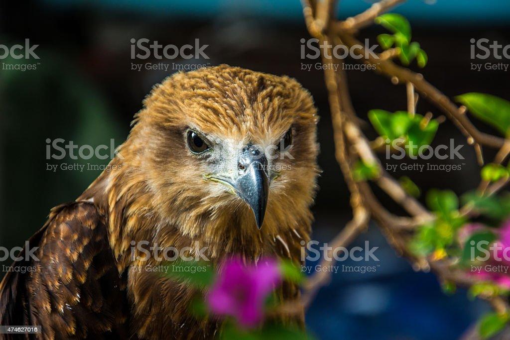 Red-backed Sea Eaglet or Brahminy Kite (Haliastur indus) stock photo