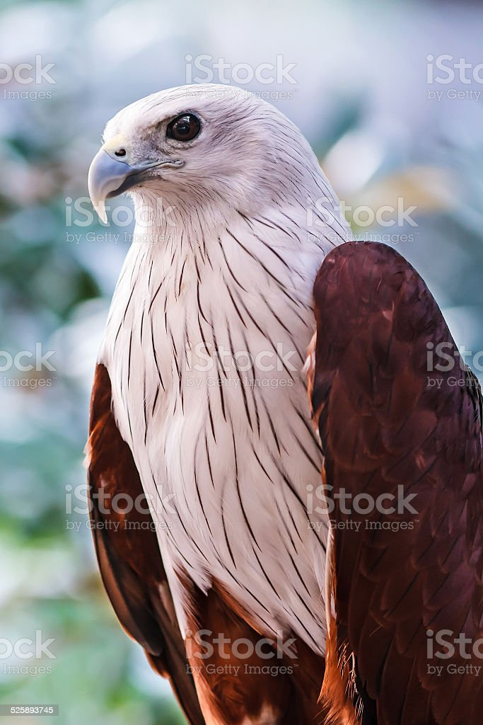 Red-backed sea-eagle stock photo