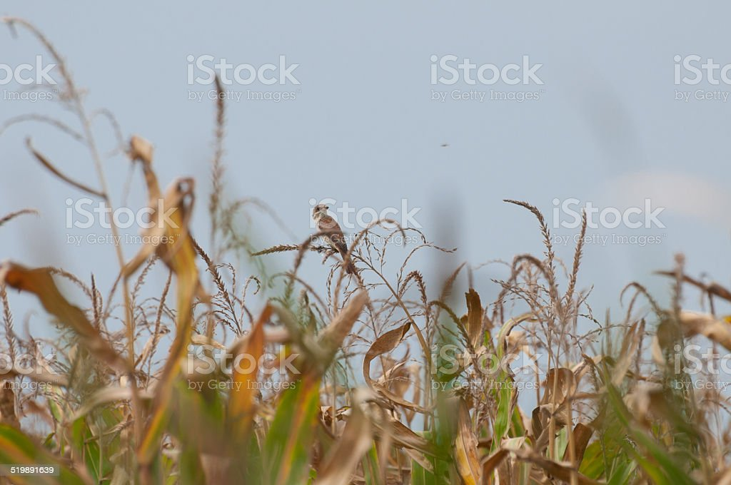 red-backed shrike female, a fly and a corn field royalty-free stock photo