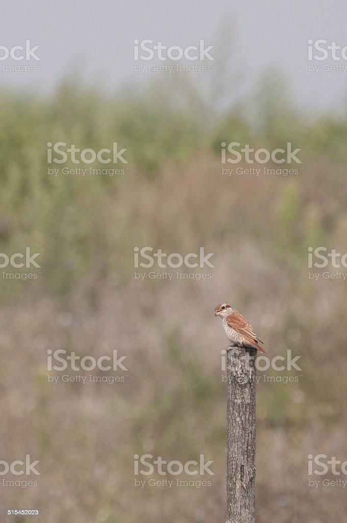 red-backed shrike female on a wooden pole, vertical view royalty-free stock photo