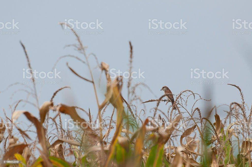 red-backed shrike female royalty-free stock photo