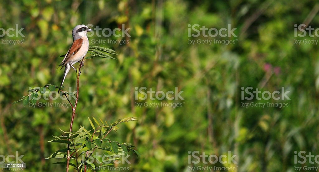 Red-backed Shrike (Lanius collurio) royalty-free stock photo