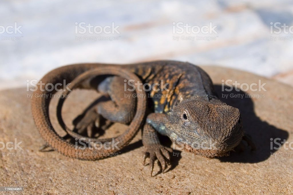 Red-Barred Dragon royalty-free stock photo