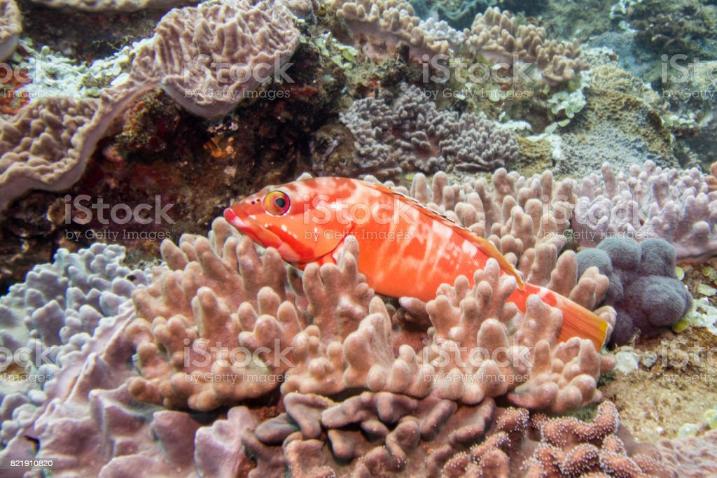Redbarred rockcod sitting in a coral stock photo