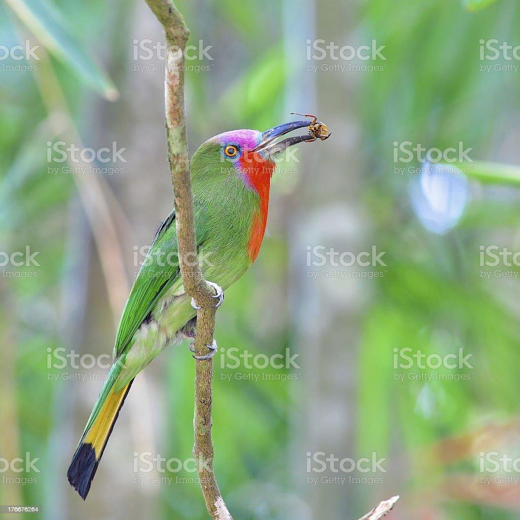 Red-bearded Bee-eater bird royalty-free stock photo