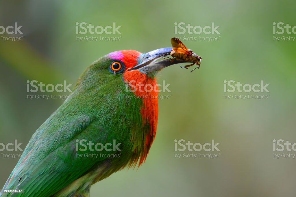 Beautiful green bird, Red-bearded Bee-eater Bird standing on the...