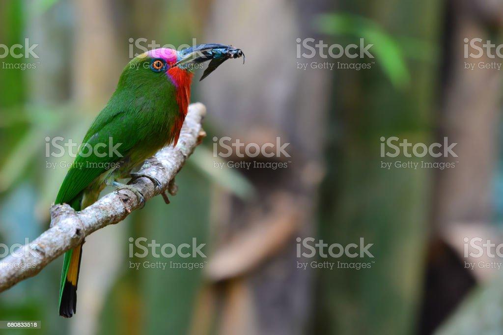 Beautiful green bird, Red-bearded Bee-eater Bird standing on the...