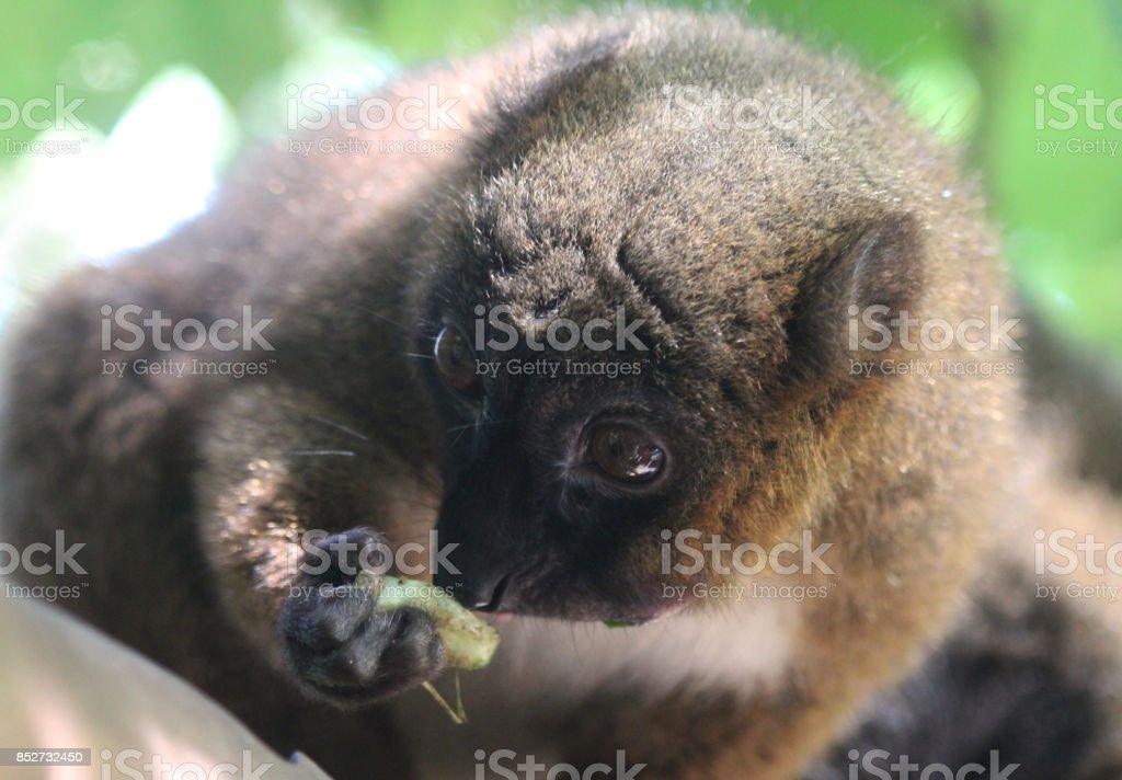 red-bellied lemur (Eulemur rubriventer) stock photo