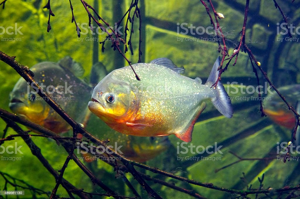 Red-Bellied Piranha stock photo