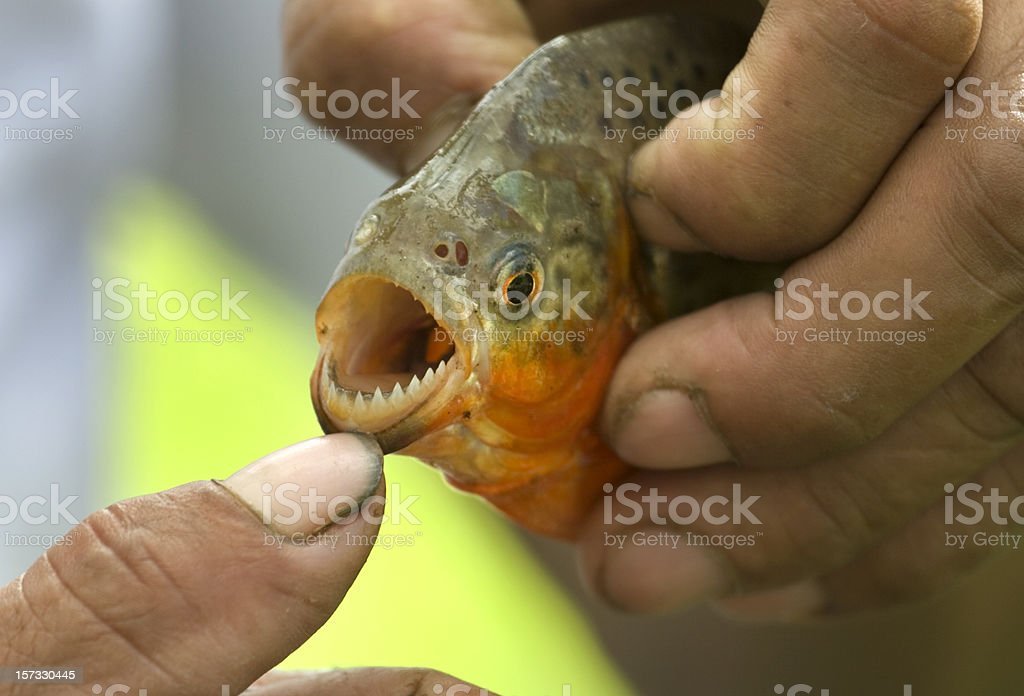 Red-bellied piranha teeth on the Amazon River stock photo