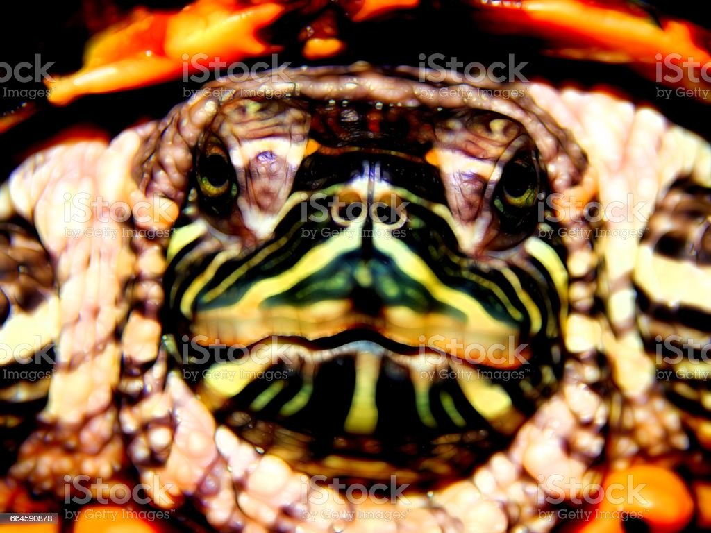 Red-bellied sea turtle close-up stock photo