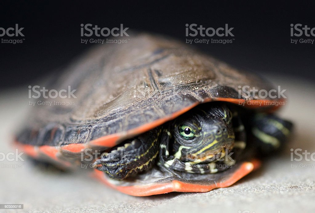 red-bellied turtle royalty-free stock photo